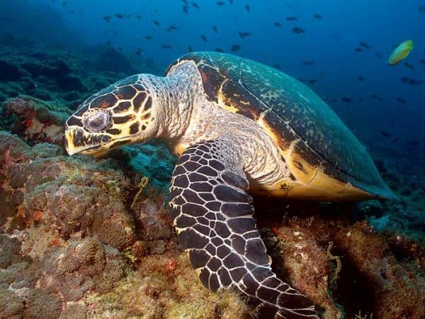gili air hawksbill turtle