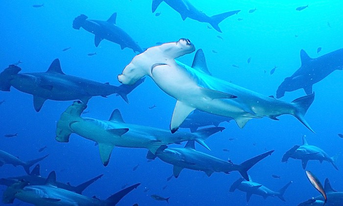 Scalloped Hammerheads Lombok