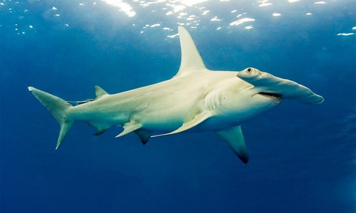 Hammerhead dives Indonesia