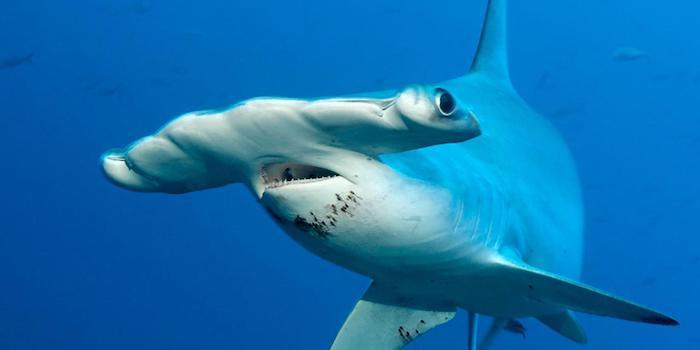 Hammerhead Shark Fact File - Two Fish Divers Lombok, Indonesia