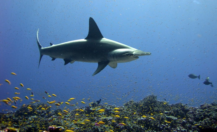 Dive with Hammerheads in Lombok