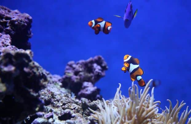 Anemone Fish Swim