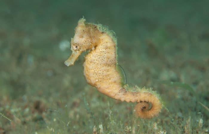 Estuary seahorse LembehStrait
