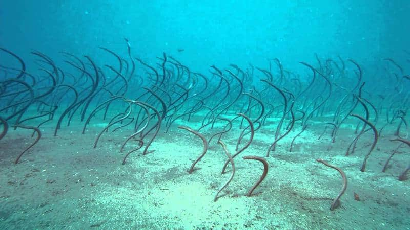 These Are Garden Eels not Sea Grass! , Two Fish Divers