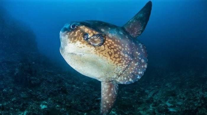 Mola Indonesia