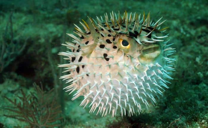 Pufferfish two fish