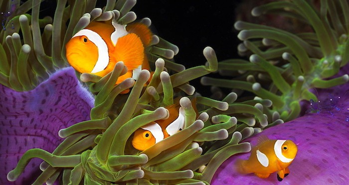 Anemonefish and Anemone