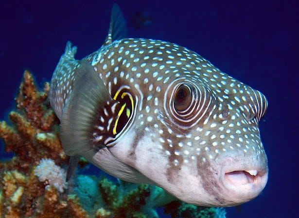 White spotted puffer