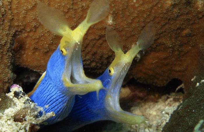 Ribbon eel pair