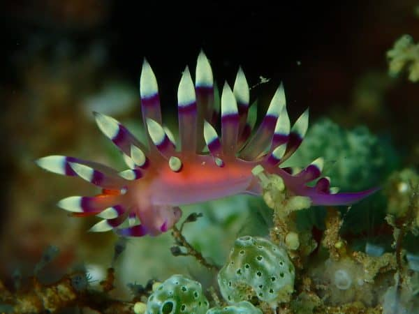 Colorful nudibranch in Lembeh