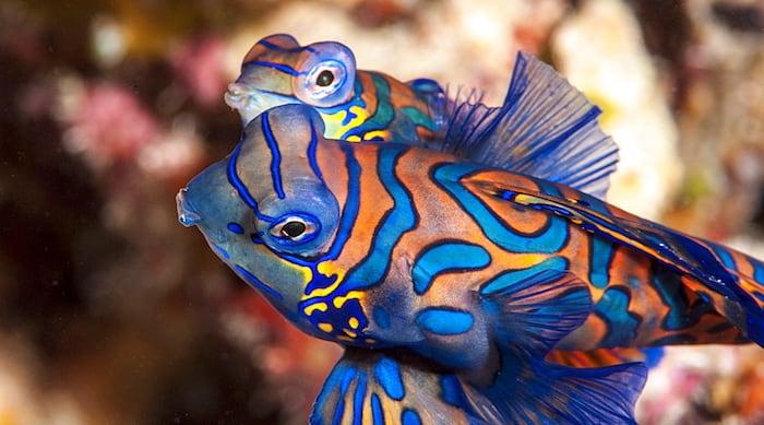 Mandarin fish Sulawesi