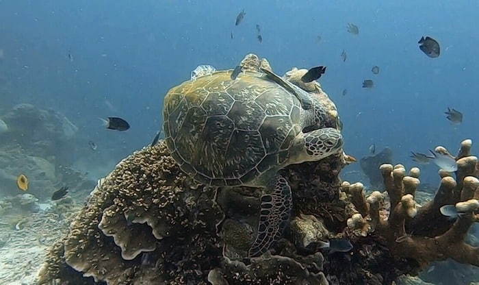Green turtle Bunaken Indonesia