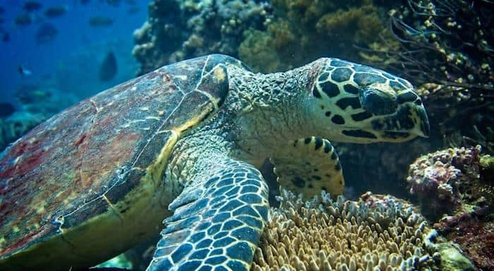 turtle Gili Air