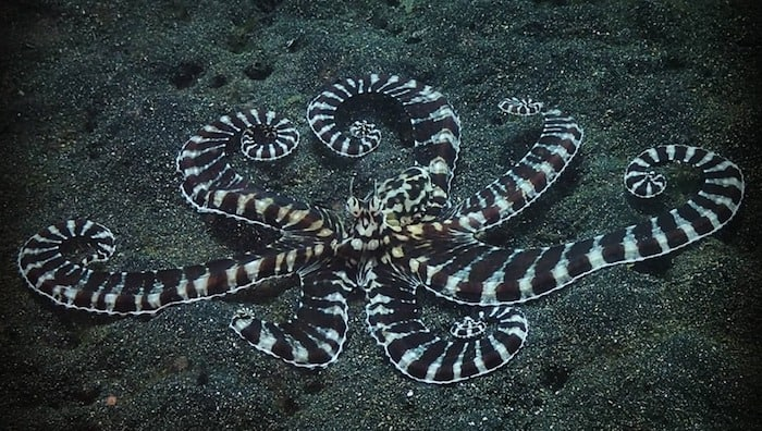 Mimic octopus Lembeh