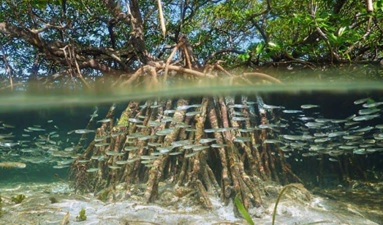 Bunaken Mangroves