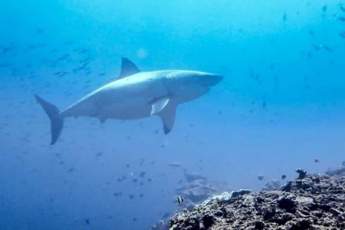 great white shark Lembongan