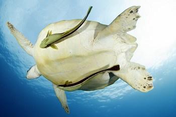 Turtles in Gili Air