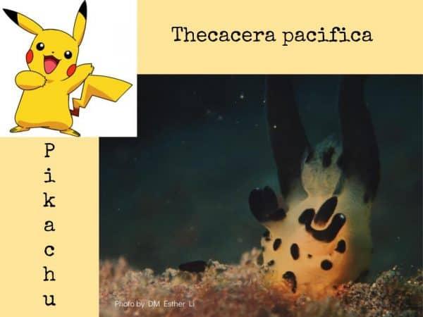Pikachu nudibranch Amed