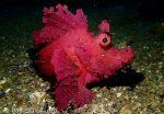 rhinopias scorpionfish lembeh