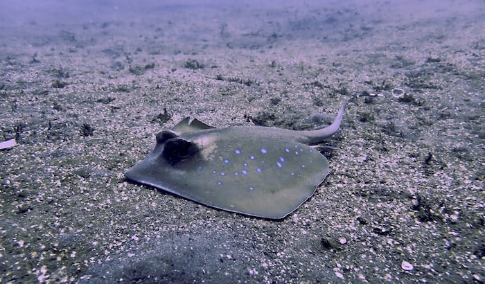 100th dive sting ray